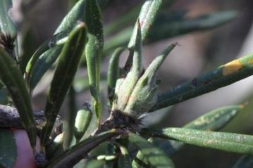 Lambertia formosa