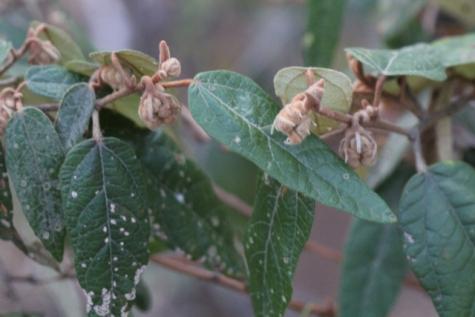 Lasiopetalum macrophyllum