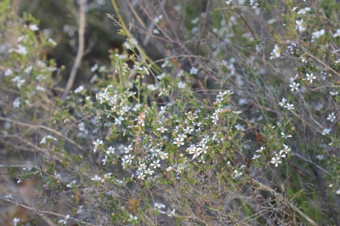 Leptospermum parvifolium