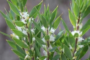 Leucopogon esquamatus