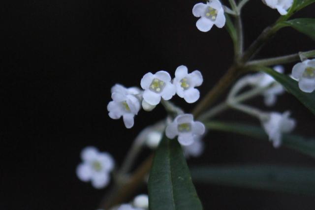 Logania albiflora