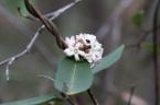 Marsdenia suaveolens