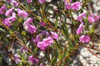 Mirbelia rubifolia