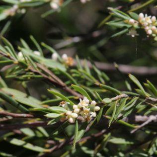 Monotoca scoparia