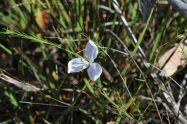 Patersonia glabrata white