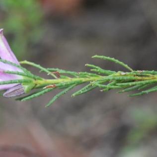 philotheca salsolifolia