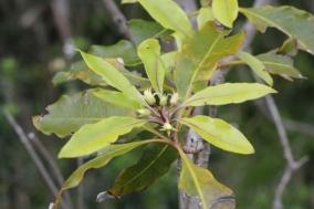 Pittosporum undulatum