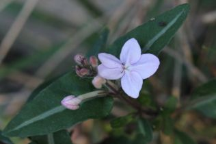 Pseuderanthemum variabile