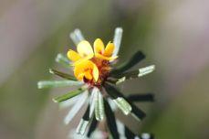ultenaea linophylla