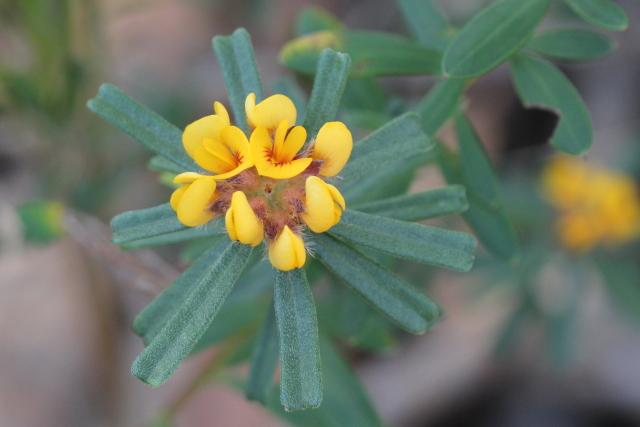 Pultenaea linophylla