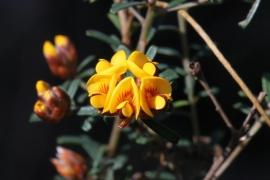 Pultenaea retusa