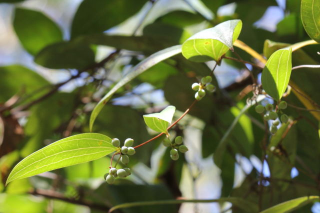 Smilax glyciphylla