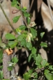Xanthosia tridentata