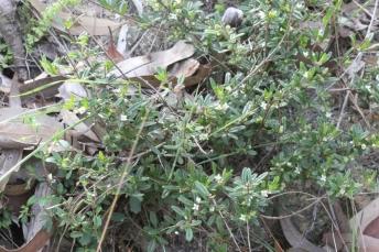 Zieria pilosa10