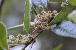 Asterolasia correifolia