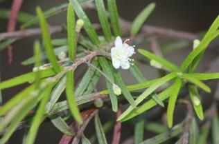 Austromyrtus tenuifolia