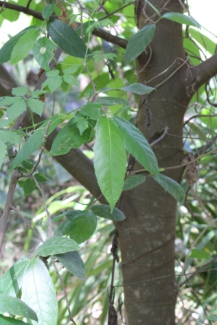 Ficus coronata