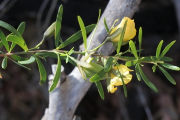 Gompholobium latifolium
