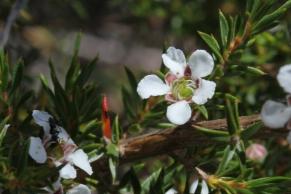 Leptospermum arachnoides