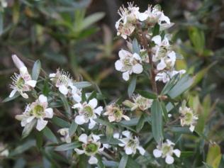 Leptospermum grandifolium