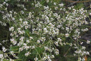 Micromyrtus ciliata