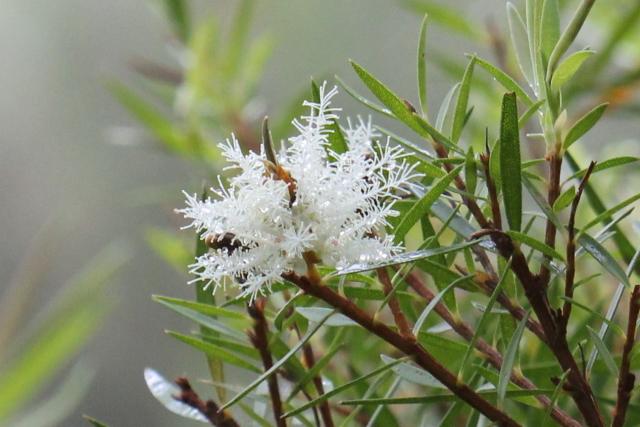 Melaleuca linariifolia