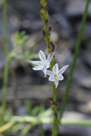 Caesia parvifolia var. parvifolia