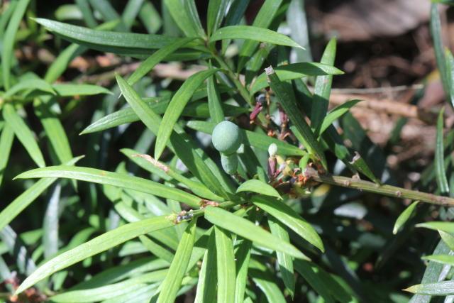 Podocarpus spinulosus