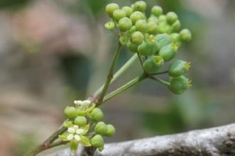 Polyscias sambucifolia