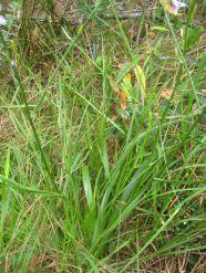 Caesia parviflora