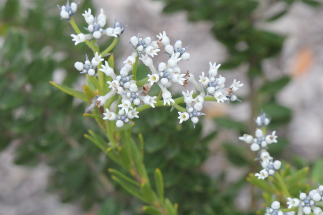 Conospermum ellipticum