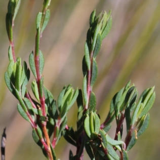 Darwinia leptantha