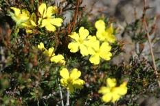 Hibbertia cistiflora