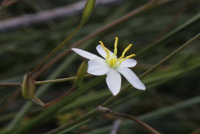 Thelionema umbellatum