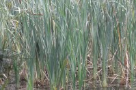 Typha orientalis