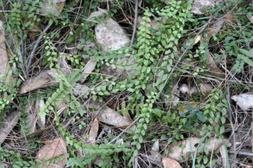 Asplenium flabellifolium