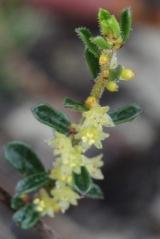 Phyllanthus hirtellus