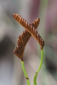 Schizaea bifida