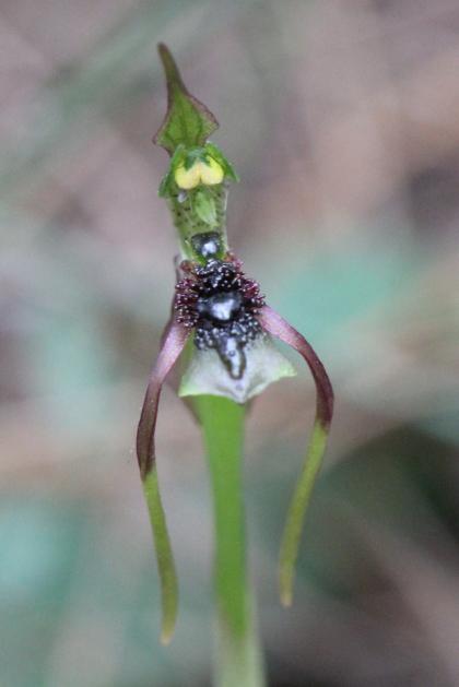 Chiloglottis seminuda
