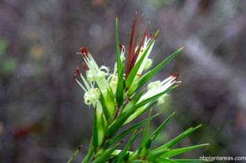 Styphelia longifolia