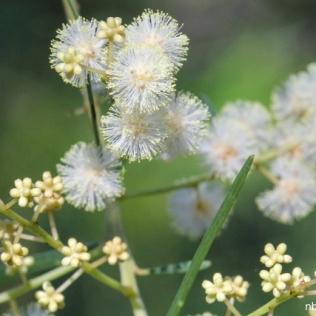 Acacia linifolia