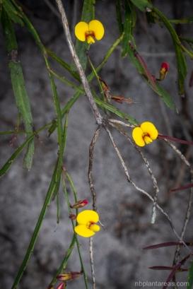 Bossiaea ensata