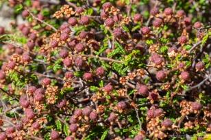 Commersonia hermanniifolia