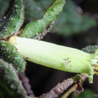 Correa reflexa green