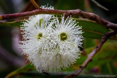 Eucalyptus umbra
