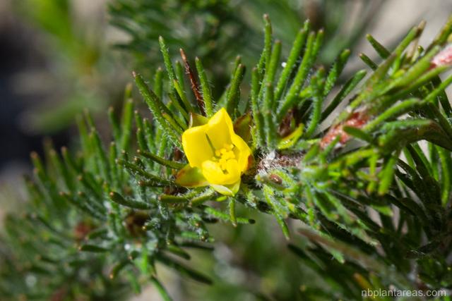 Hibbertia fasciculata