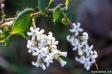 Leucopogon amplexicaulis