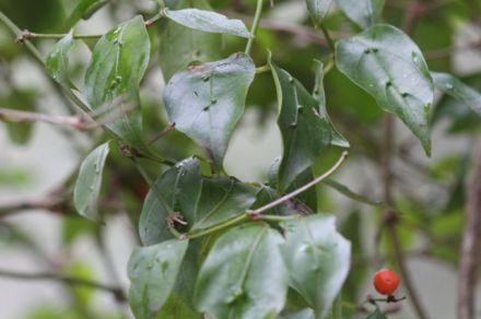 Gynochthodes jasminoides
