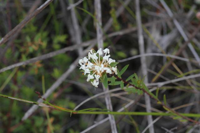 Pimelea linifolia