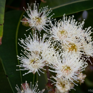 Angophora floribunda